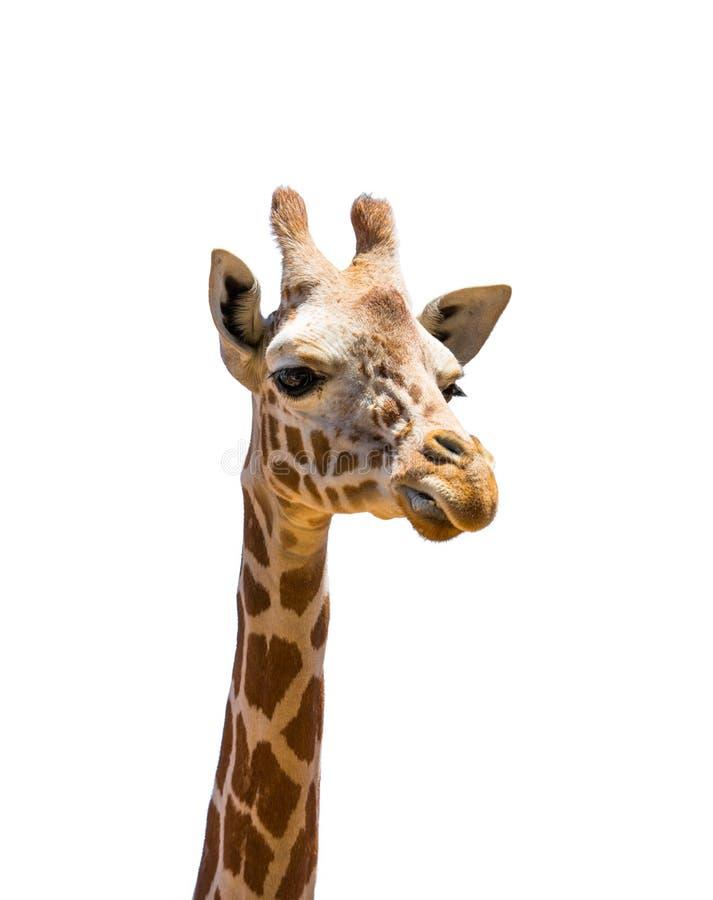 Testa della giraffa isolata fotografia stock