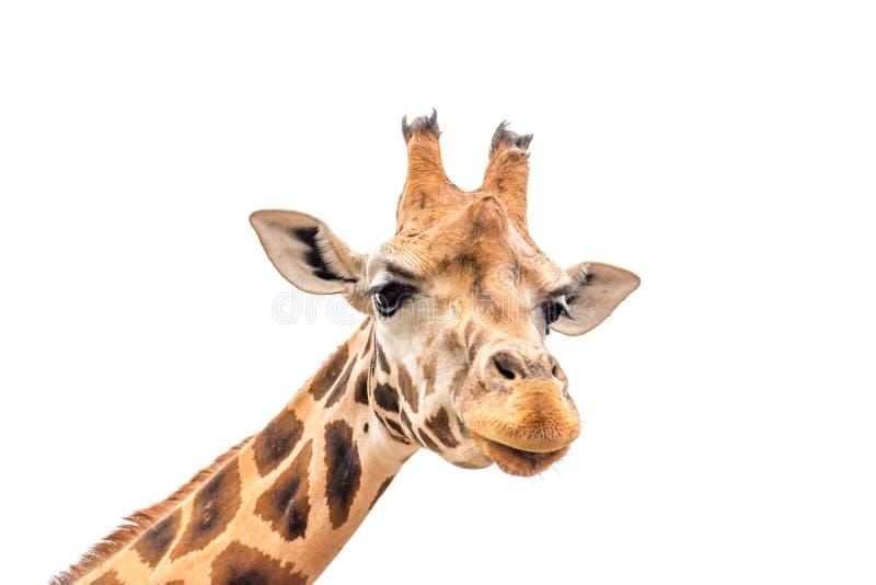 Testa della giraffa isolata su bianco fotografie stock libere da diritti