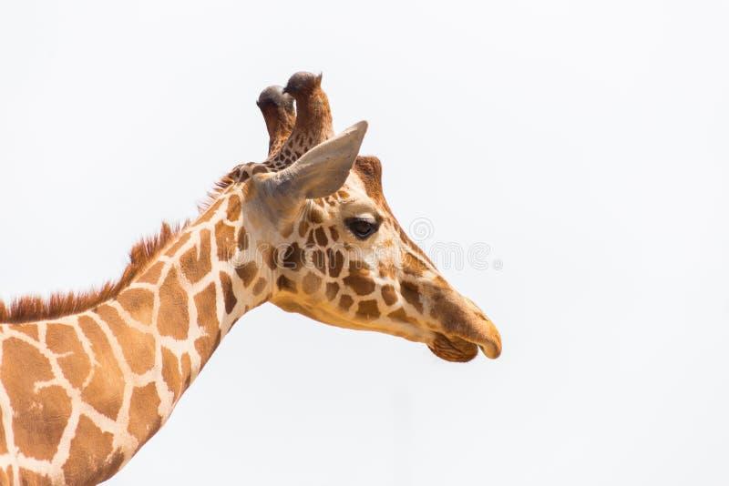Testa della giraffa isolata su fondo bianco fotografie stock