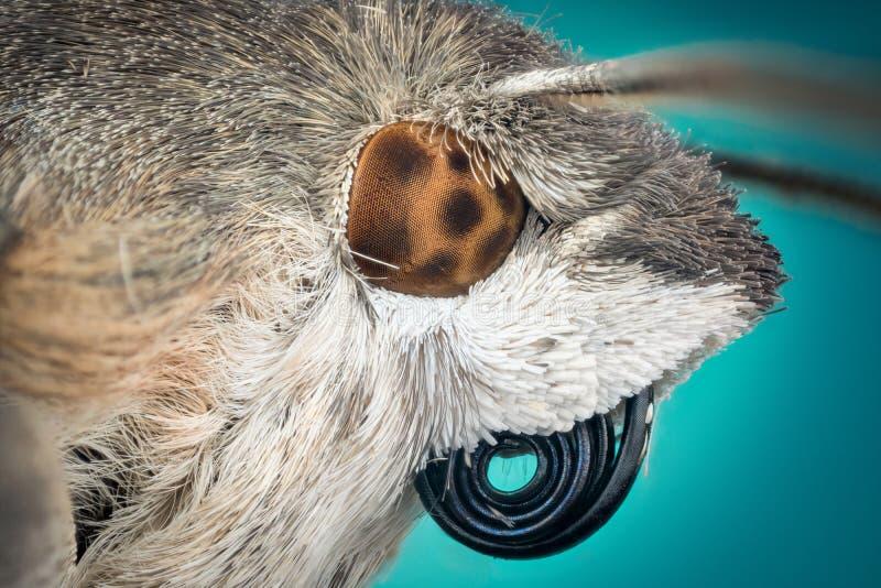 Testa della macro del lepidottero fotografia stock libera da diritti