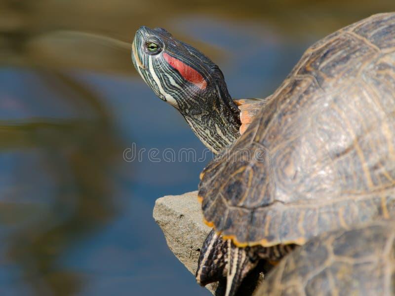 Testa della tartaruga fotografia stock libera da diritti
