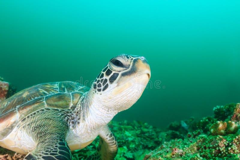 Testa della tartaruga verde fotografie stock