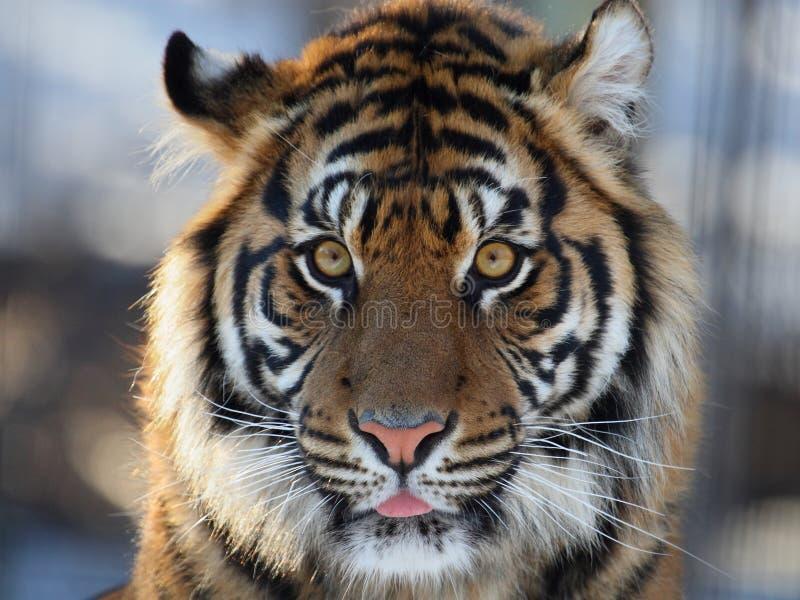 Testa della tigre fotografie stock libere da diritti