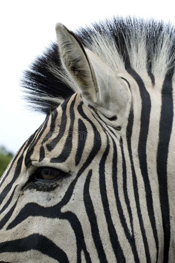 Download Testa della zebra immagine stock. Immagine di zebra, africa - 7309467