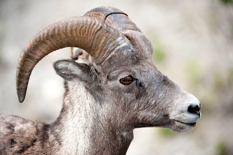 Testa delle pecore di Bighorn maschii fotografia stock