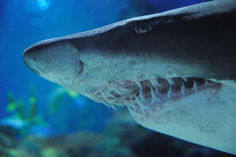 Testa dello squalo immagine stock