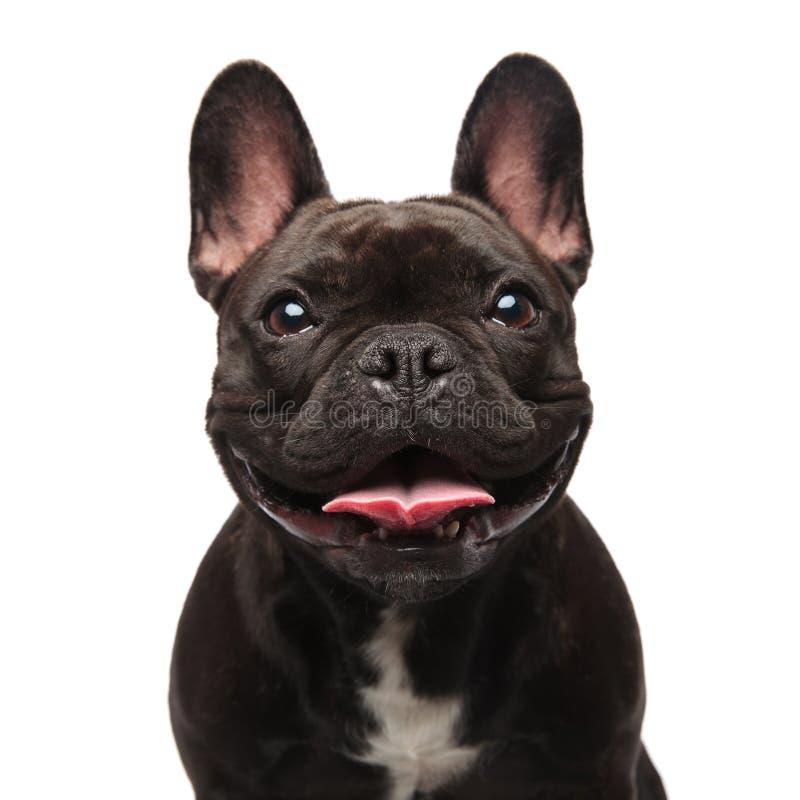 Testa di ansimare nero felice del bulldog francese fotografia stock libera da diritti