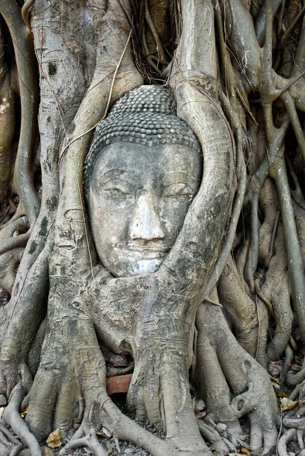 Testa di Buddha antico in albero immagine stock libera da diritti