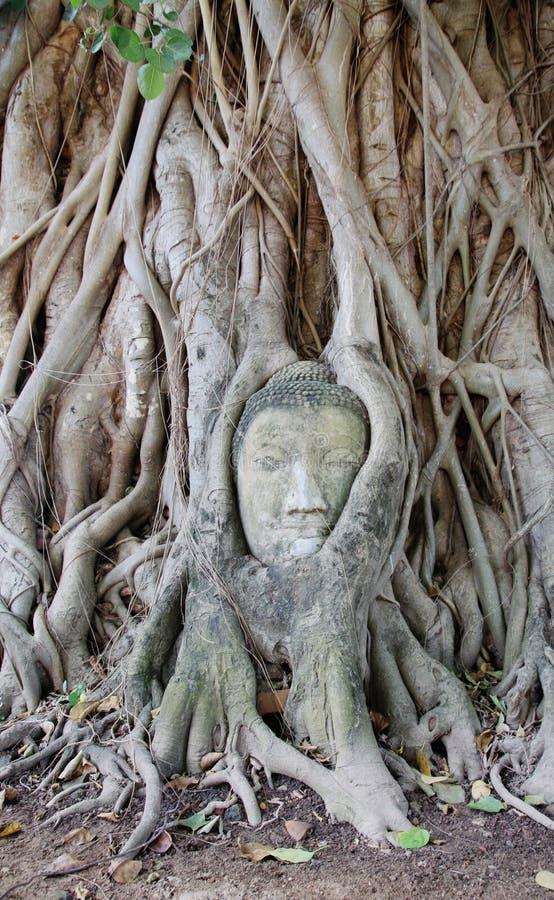 Testa di Buddha con l'albero enorme in Ayuthaya, Tailandia fotografie stock
