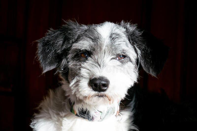 Testa di cane in bianco e nero del ritratto immagini stock libere da diritti