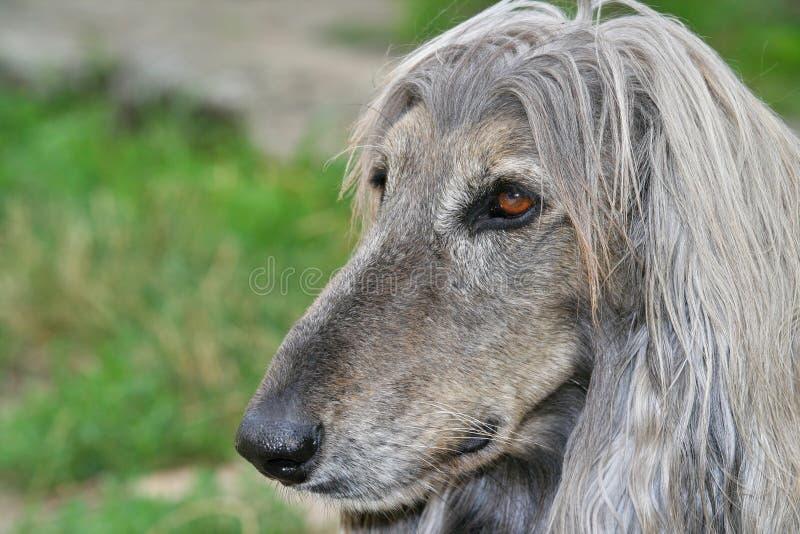 Testa di cane del levriero afgano immagini stock libere da diritti
