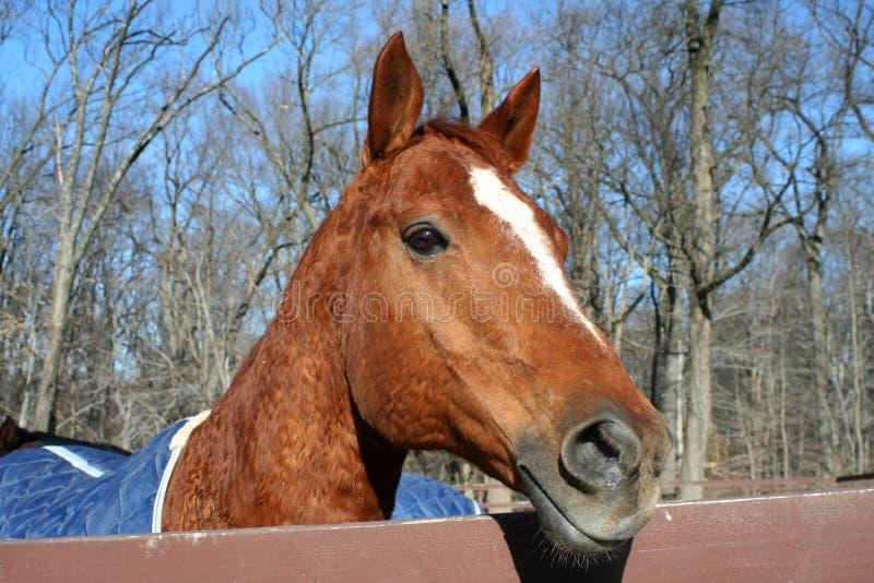 Testa di cavalli fotografia stock
