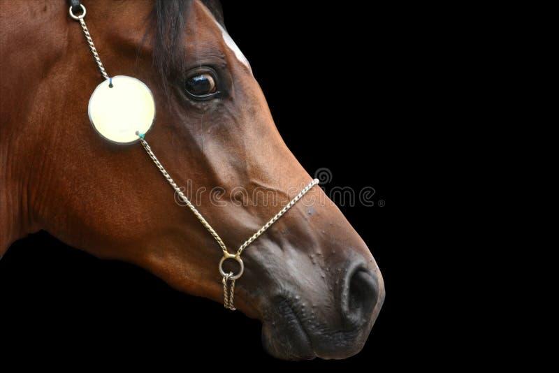Testa di cavallo araba