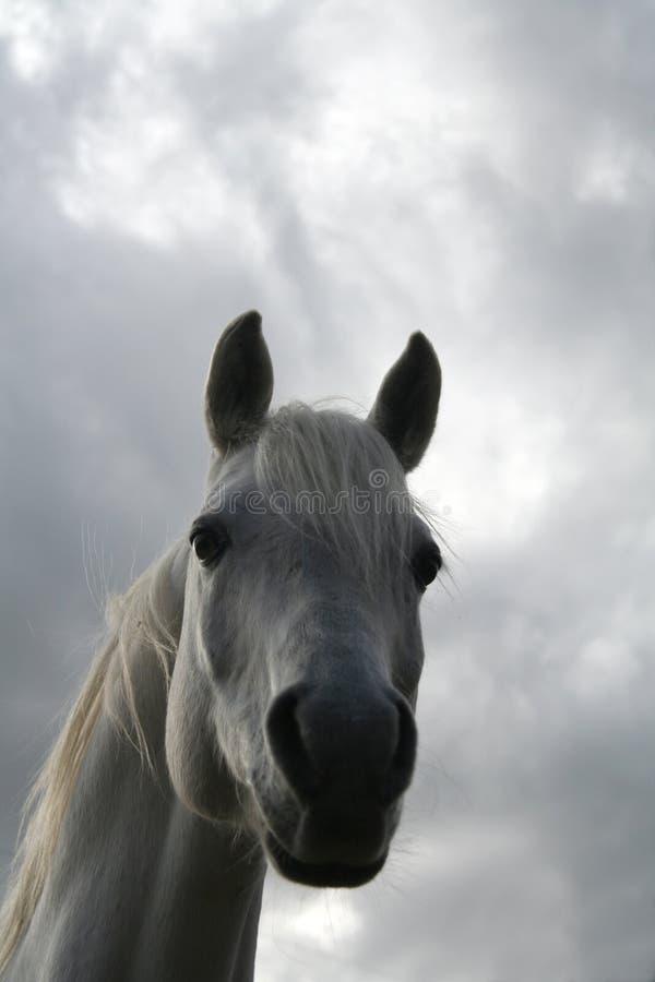 Testa di cavallo araba fotografie stock