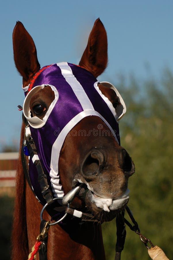 Testa di cavallo con i paraocchi fotografia stock libera da diritti