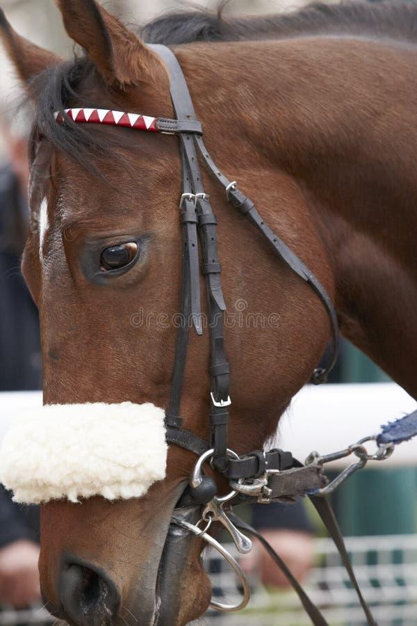 Testa di cavallo da corsa pronta a funzionare immagini stock libere da diritti