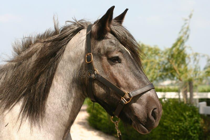 Testa di cavallo della cambiale immagini stock