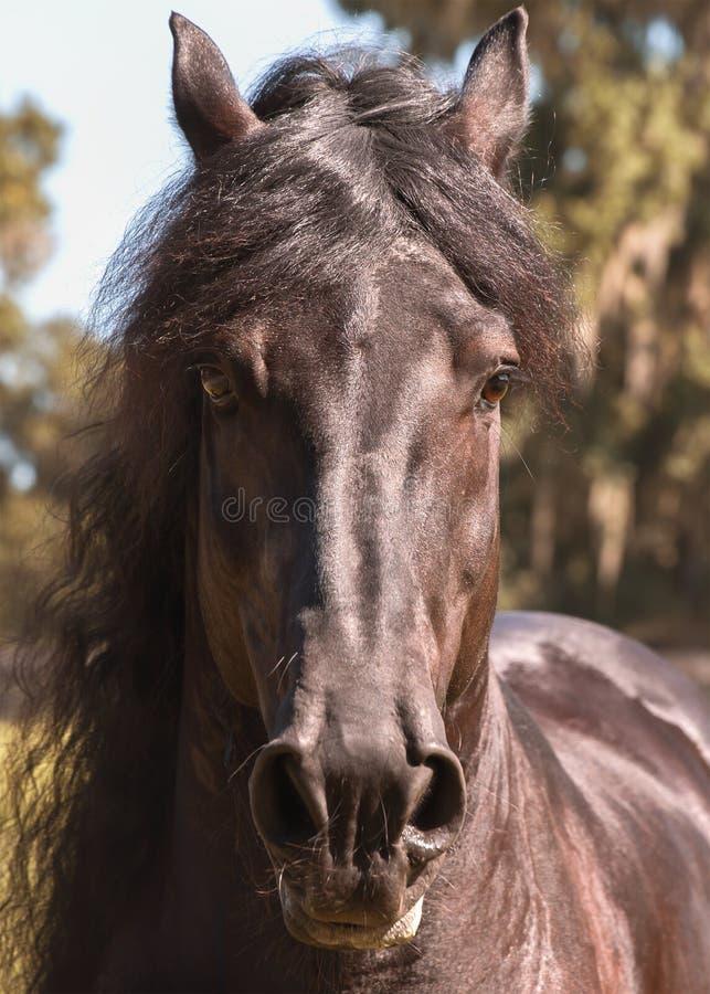 Testa di cavallo frisone nera immagini stock libere da diritti