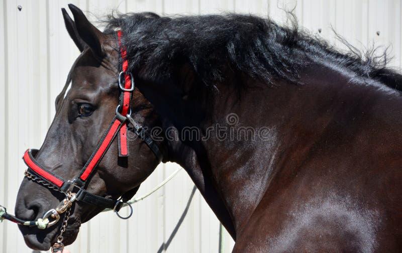 Testa di cavallo nera piacevole fotografia stock libera da diritti