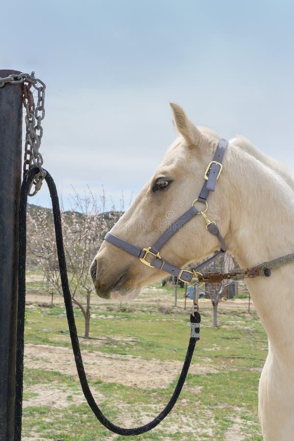 Testa di cavallo quarta dipinta a Aguanga, CA, U.S.A. fotografia stock libera da diritti