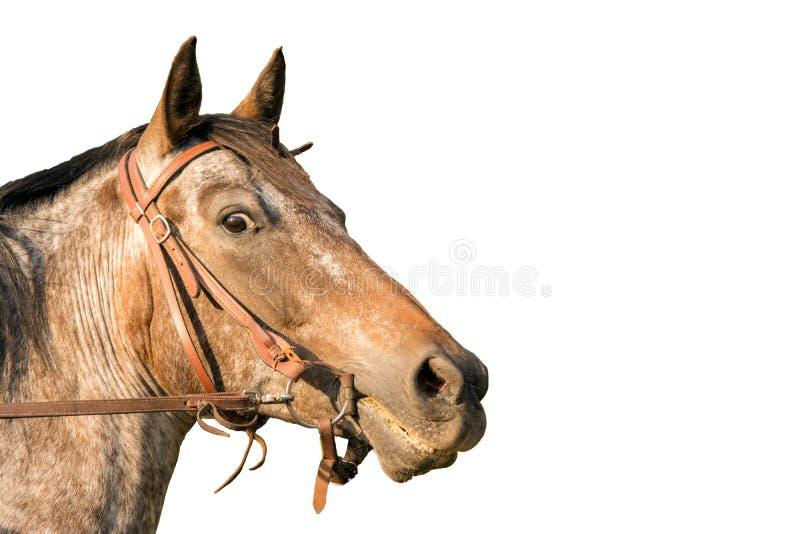 Testa di cavallo un cavallo quarto fotografia stock
