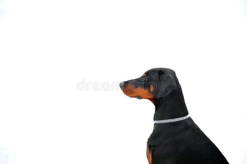 Testa di Doberman immagini stock libere da diritti