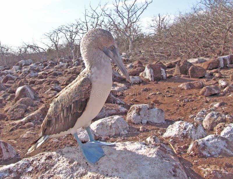 testa di legno Blu-footed su Galapagos, Ecuador fotografia stock