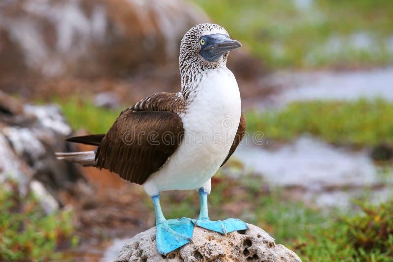 testa di legno Blu-footed su Seymour Island del nord, PA nazionale di Galapagos immagini stock