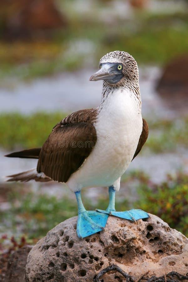 testa di legno Blu-footed su Seymour Island del nord, PA nazionale di Galapagos fotografia stock