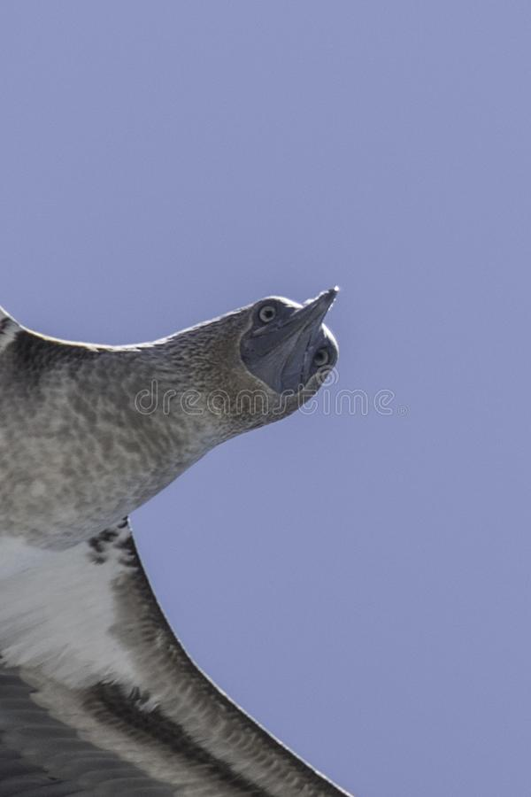Testa di legno blu di Galapagos in volo fotografia stock libera da diritti