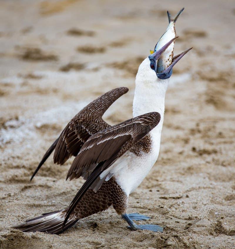 Testa di legno footed blu che ruba pesce fotografie stock libere da diritti