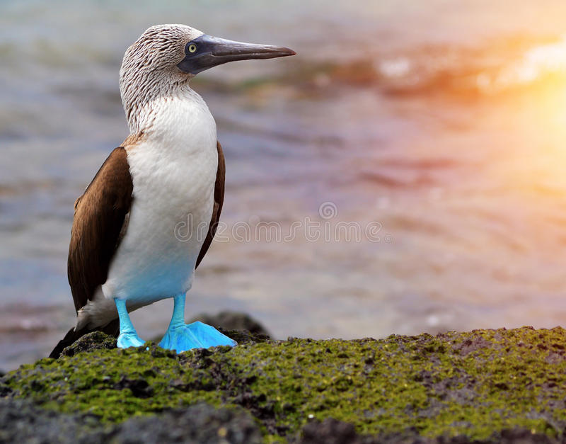 Testa di legno footed blu a Galapagos fotografia stock libera da diritti