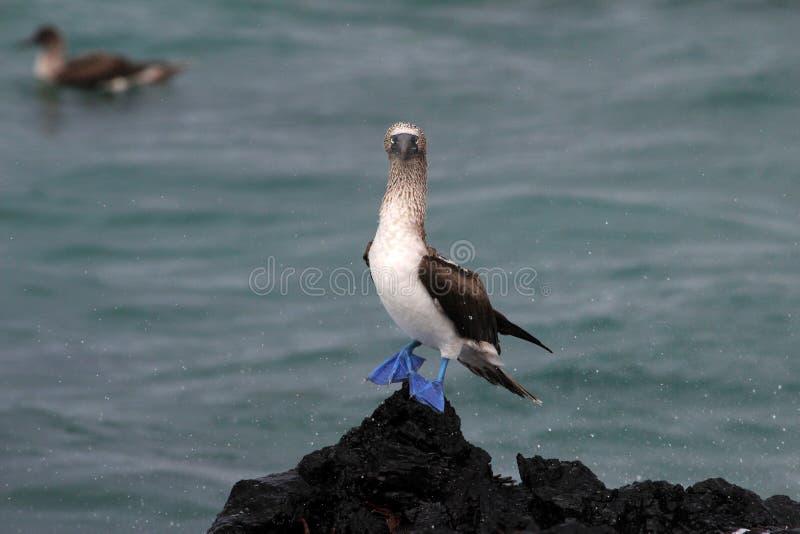 Testa di legno footed blu, nebouxii della sula, Galapagos fotografia stock libera da diritti