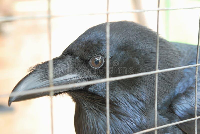 Testa di Raven immagini stock libere da diritti