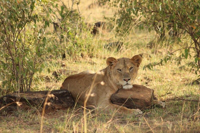 Testa di riposo della leonessa su roccia fotografie stock