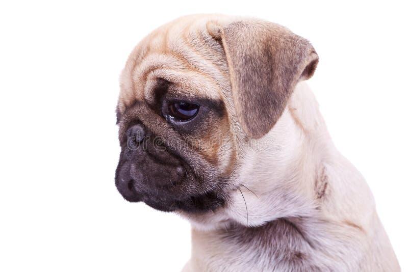 Testa di un cane di cucciolo dei mops immagine stock - Colorazione immagine di un cane ...