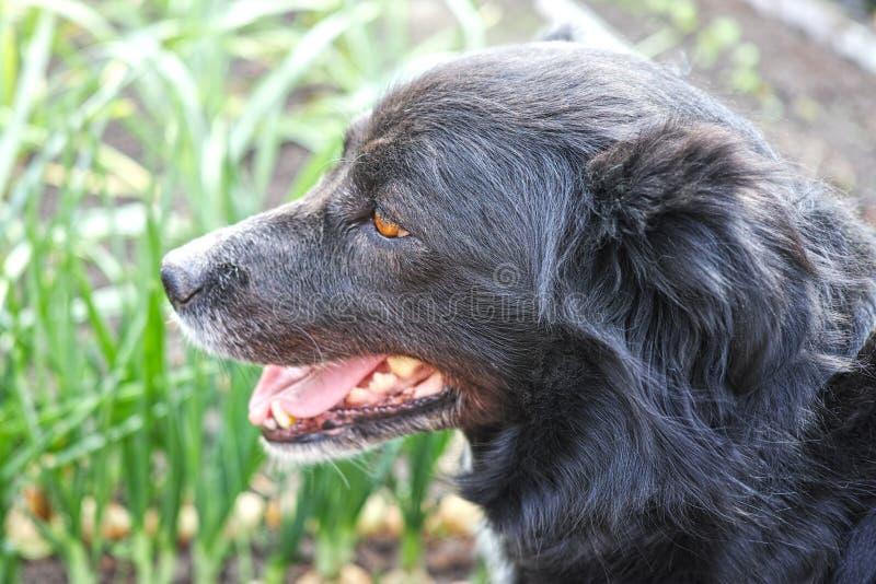 Testa di un cane nero immagine stock libera da diritti