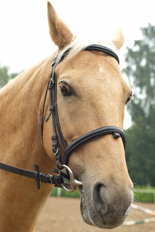 Testa di un cavallo immagini stock
