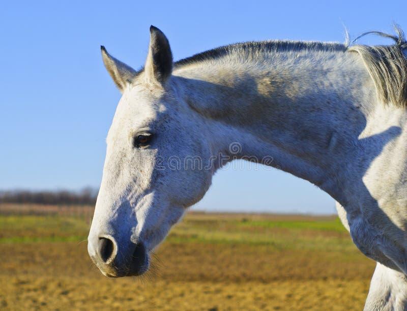 Testa di un cavallo bianco su un fondo del campo immagine stock