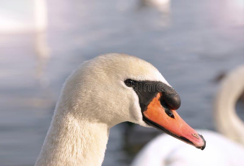 Testa di un cigno bianco dell'uccello immagine stock