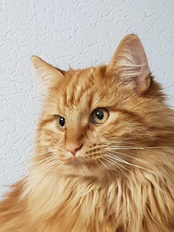 Testa di un gattino di Maine Coon immagini stock