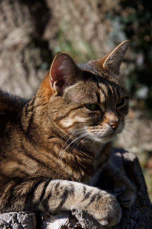 Testa di un marrone, di uno zenzero e di un gatto a strisce nero riposanti al sole fotografia stock libera da diritti