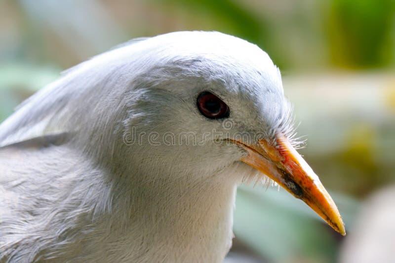 Testa di un uccello minacciato di kagu nella vista di profilo fotografia stock
