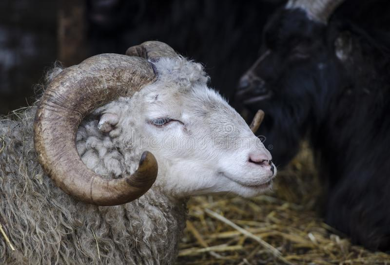 Testa di una pecora bianca con i grandi corni curvi fotografie stock libere da diritti