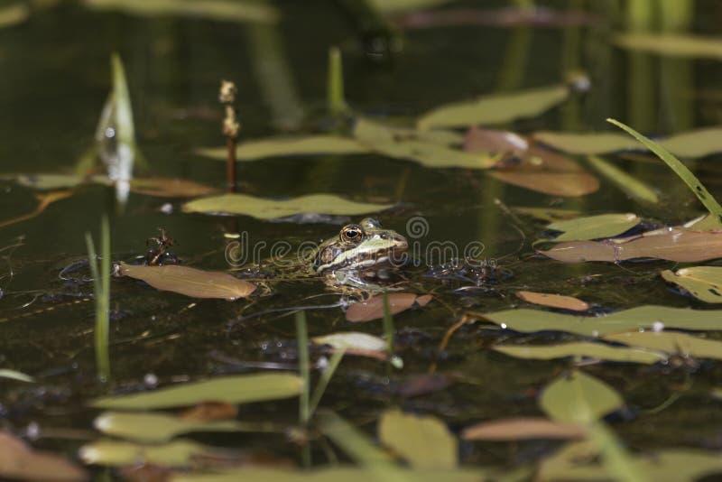 Testa di una rana dello stagno immagini stock libere da diritti