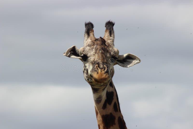Testa di uno sguardo della giraffa fotografia stock libera da diritti