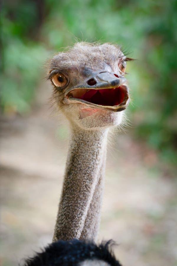 Testa divertente dell'uccello dello struzzo fotografie stock libere da diritti