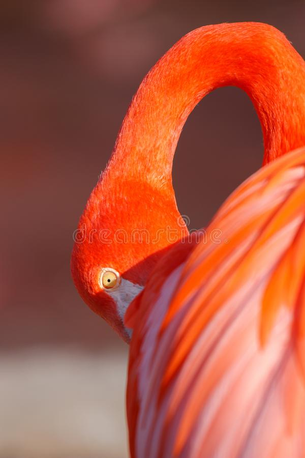Testa esotica piacevole del dettaglio dell'uccello acquatico del fenicottero fotografie stock