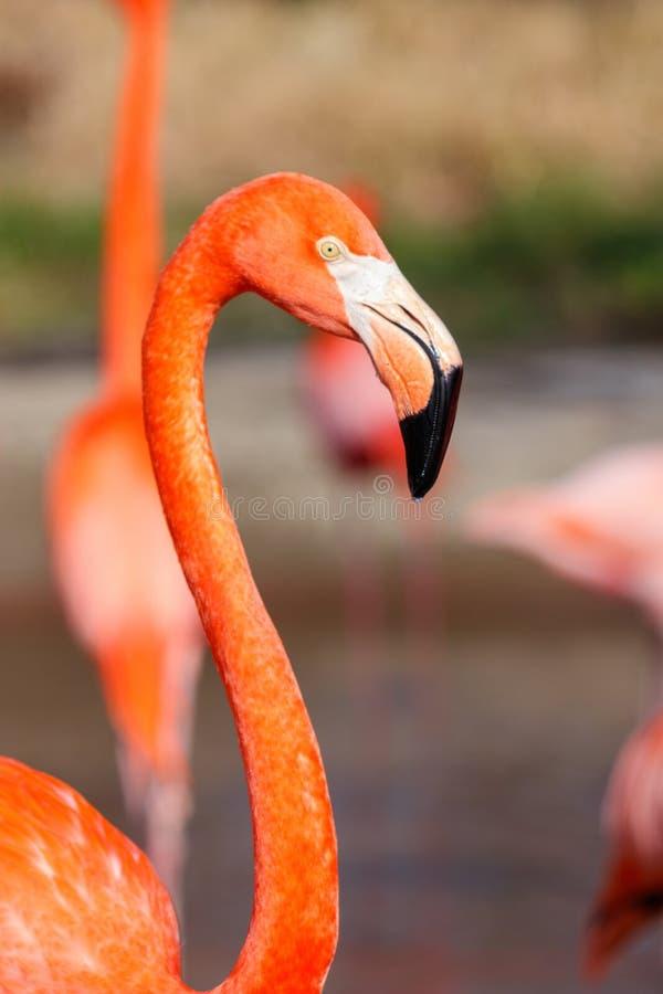 Testa esotica piacevole del dettaglio dell'uccello acquatico del fenicottero fotografia stock