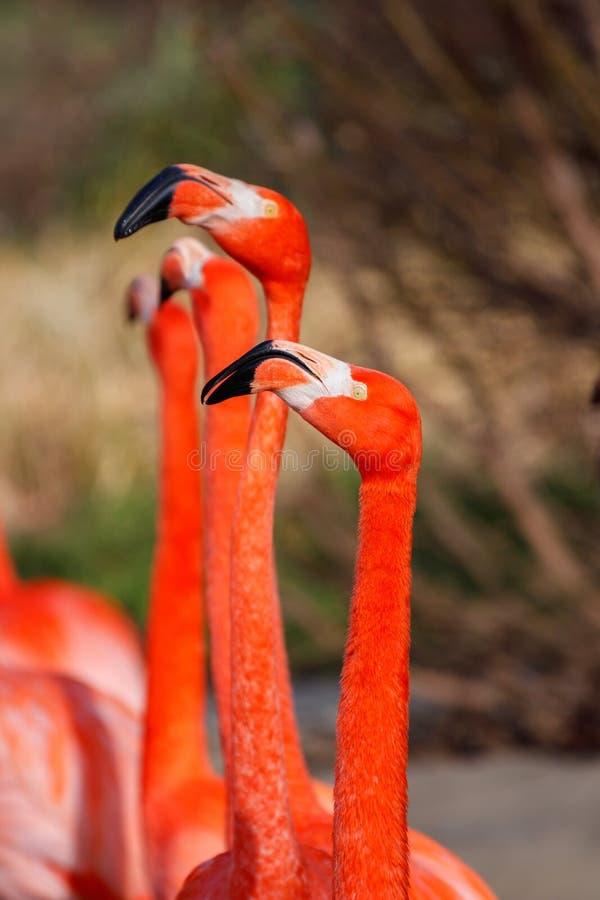 Testa esotica piacevole del dettaglio dell'uccello acquatico del fenicottero immagini stock